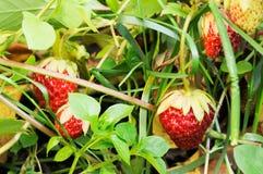 Strawberry background Royalty Free Stock Photos