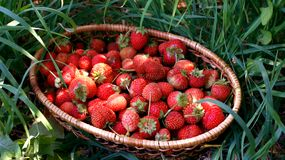 Strawberry in a basket Royalty Free Stock Photo