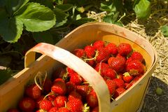 Strawberry Basket. Fresh picked strawberries in a basket, sitting in the field Royalty Free Stock Photography