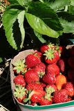 Strawberry Basket in the Field. Basket of fresh picked strawberries sitting in the field Royalty Free Stock Photography