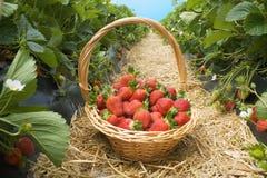Strawberry basket field royalty free stock photography