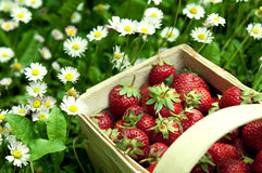 Strawberry basket at garden stock photo