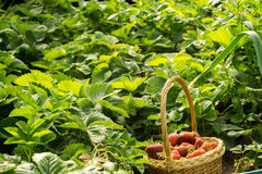 Strawberry in Basket on Grass Stock Photography