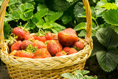 Strawberry in Basket on Grass Stock Image