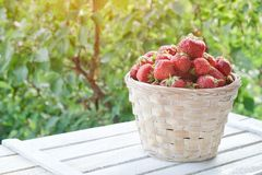 Strawberry basket on a green background. Sunlight in the garden.  Royalty Free Stock Photos