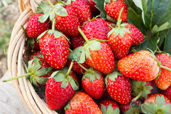 Strawberry in a basket. Royalty Free Stock Image