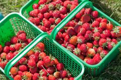 Strawberry baskets Stock Photo