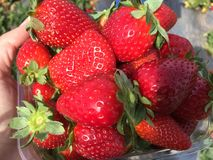 Strawberry. Beautiful strawberries just picked up Royalty Free Stock Photos