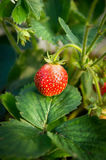 Strawberry on bed in leaves, close up Stock Photo