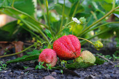 Strawberry on a bed. Ripe strawberry on a bed, a wonderful sweet and useful berry suitable for making jam, jams, juices Stock Photo
