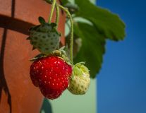 Strawberry berries grow in a ceramic pot against the sky Royalty Free Stock Images