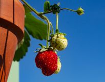 Strawberry berries grow in a ceramic pot against the sky Stock Photos