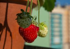 Strawberry berries grow in a ceramic pot against the sky Royalty Free Stock Photography