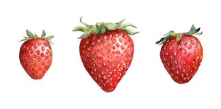 Strawberry berry. Watercolor painted drawing royalty free illustration