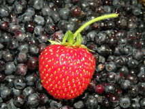 Strawberry and bilberries. Fresh strawberry and bilberries suitable as background Royalty Free Stock Photos