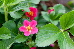Strawberry Bloom Stock Image