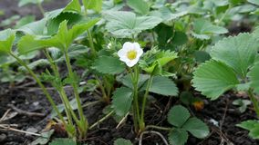 Strawberry blooms in garden with wet ground stock video