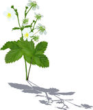 Strawberry blooms and green leaves with shadow. Illustration with strawberry blooms and leaves isolated on white background Stock Photos