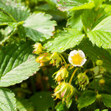 Strawberry Blossom. Bush of strawberry with flower and unripe berries Royalty Free Stock Photography