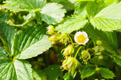 Strawberry Blossom. Bush of strawberry with flower and unripe berries Stock Image