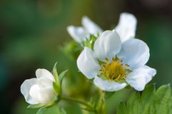Strawberry blossom Stock Images