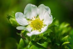 Strawberry Blossom Royalty Free Stock Image