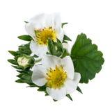 Strawberry Blossom Stock Image