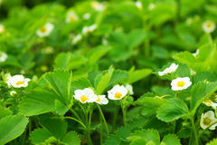 Strawberry blossoming on the field Stock Image