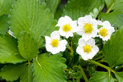 Strawberry Blossoms Royalty Free Stock Photos