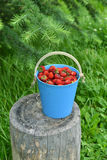 Strawberry in blue bucket under fir-tree Stock Photography