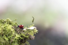 Strawberry or blue jeans poison dart frog in green grass , stock photography