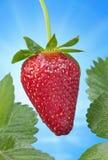 Strawberry Blue Spring Sky Stock Photo
