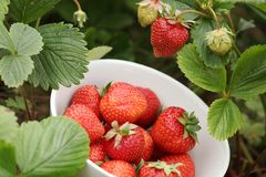 Strawberry. Bowl with fresh strawberries in a garden stock image