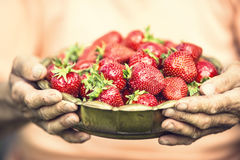 Strawberry. A bowl full of strawberries in the hands of a senior farmer.  Royalty Free Stock Photos