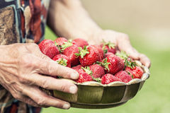 Strawberry. A bowl full of strawberries in the hands of a senior farmer.  Royalty Free Stock Photography