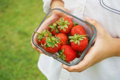 Strawberry bowl in kid hands. With lawn background Stock Photography