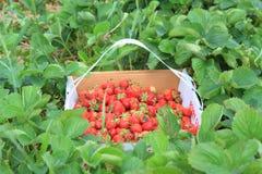 Strawberry box Stock Photo