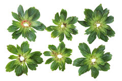 Strawberry Bracts. Set of strawberry bract leaves isolated on white Royalty Free Stock Photography