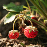 Strawberry on branch. Red mature strawberry on branch Royalty Free Stock Photos