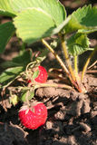 Strawberry on branch royalty free stock image