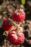 Strawberry on branch. Mature red strawberry on branch Royalty Free Stock Photography