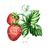 Strawberry branch with berries, flower and leaves. Watercolor hand drawn illustration,  isolated on white background. Strawberry branch with berries, flower and Royalty Free Stock Photography