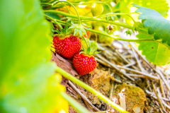 Strawberry on the branch in the planting strawberry Royalty Free Stock Image