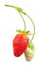 Strawberry bush Stock Images