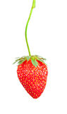 Strawberry bush Royalty Free Stock Images