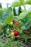 Strawberry on the bush Stock Image