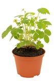 Strawberry bush in a flowerpot Stock Photography