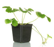 Strawberry bush in flowerpot Royalty Free Stock Images