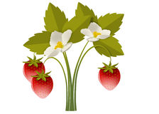 Strawberry bush with flowers. Lush bush with red berries and white flowers strawberries Stock Images