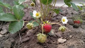 Strawberry Bush with flowers and strawberries. You can watch as strawberries grow in normal conditions in the garden royalty free stock photos